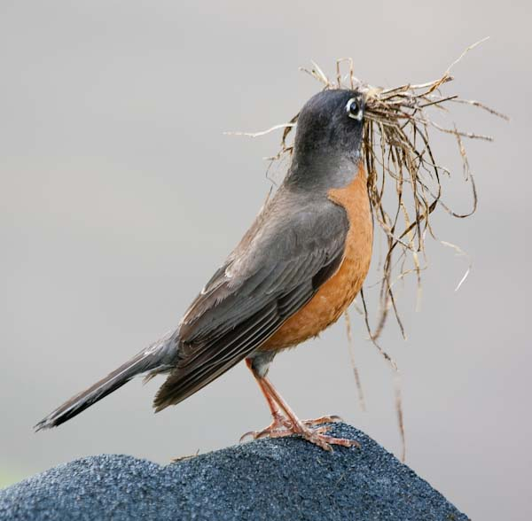 Birds Are Busy Making Their Nests While The Hawk Watches